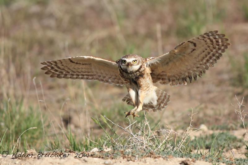 Flying Burrowing Owl