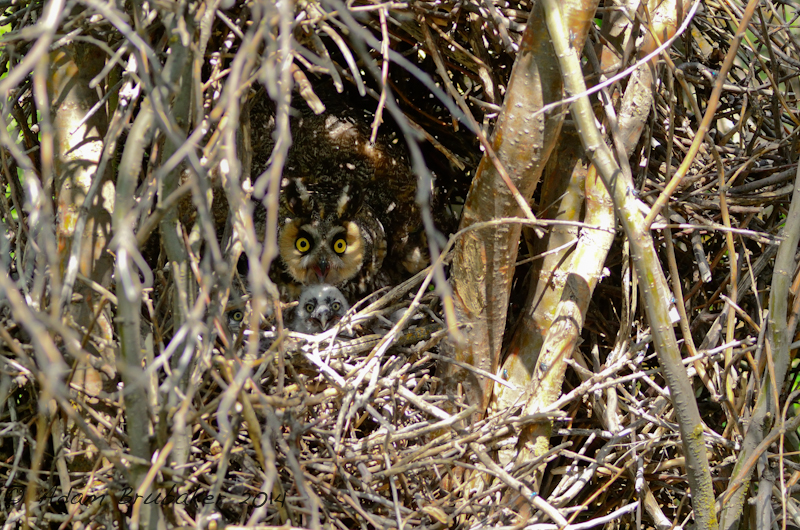 Long-eared Nest