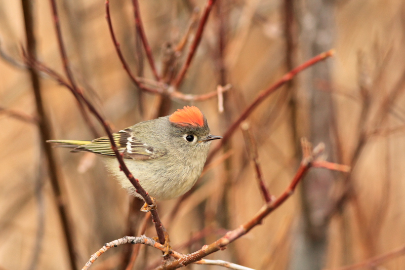 Ruby-Crowned Kinglet, Chester Wetlands, ID