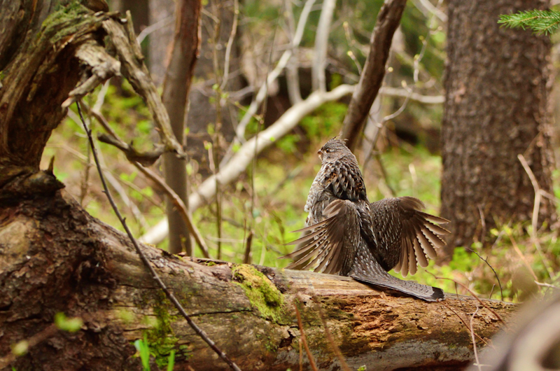 Ruffed Grouse Drumming, Grand Teton National Park, WY